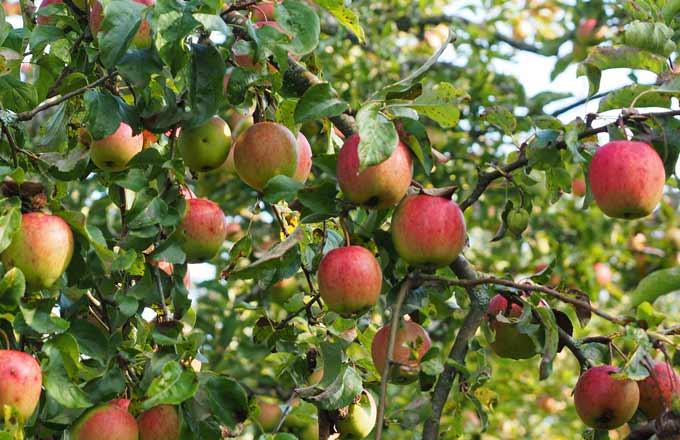 Pommiers ogm essais en plein champ en suisse - L arbre le pommier ...